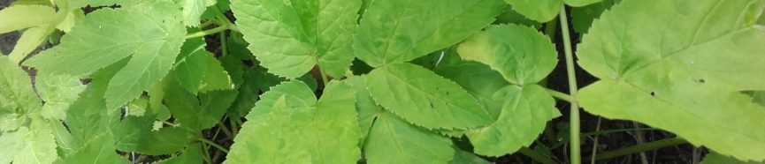 Ground Elder Removal & Control - thumbnail
